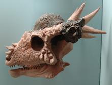 Crânio de um Stygimoloch