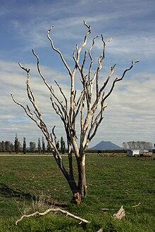 Dead tree standing in a rural field