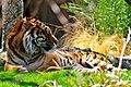 Sumatran Tiger (Panthera tigris sumatrae) (5531959391).jpg