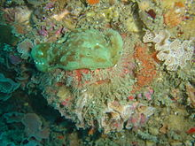 Sumo crab wearing a sponge at Star Wall DSC00047.JPG