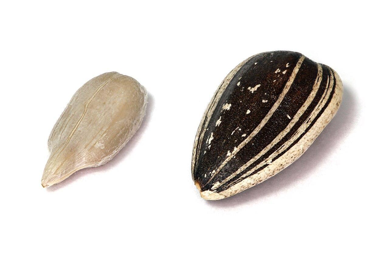 Slnečnica ročná (Helianthus annuus) - vpravo je celý plod, vľavo je len vnútro