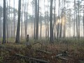 Sunlight through the pines (6778224701).jpg