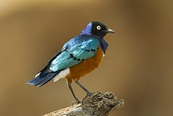 Superb Starling - Kenya S4E5638 (22812562031).jpg