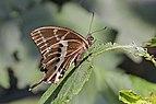 Swallowtail (Papilio mangoura) female underside.jpg