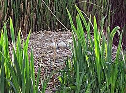Nid de cygne tuberculé avec deux œufs non éclos (à gauche) et parent surveillant sa couvée (à droite).