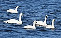 Swans - Tundra and Trumpeter (31378051954).jpg
