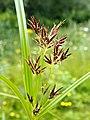 Sweet Galingale (Cyperus longus).jpg