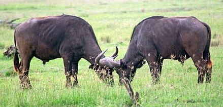 Búfalo-africano - Wikiwand