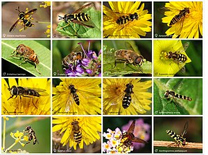 Hoverfly - Sixteen different species of hoverfly