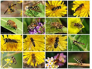 Sixteen different species of hoverfly