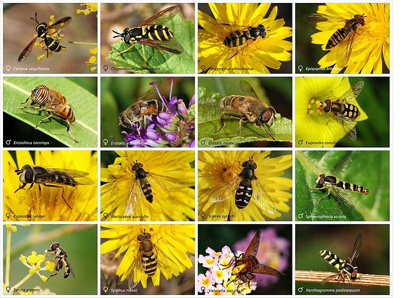 16 espécies de moscas-das-flores (Syrphidae)