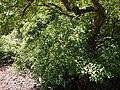 Syzygium ¿ cumini ? (17102867839).jpg