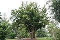 Syzygium samarangense 19zz.jpg