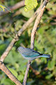 Tángara Azulgris, Blue Gray Tanager, Thraupis episcopus (11915319325).jpg
