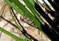 Tabanidae - Flickr - gailhampshire (7).jpg