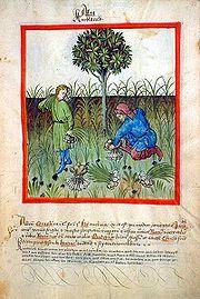 Harvesting garlic, from Tacuinum sanitatis, 15th century (Bibliothèque nationale)