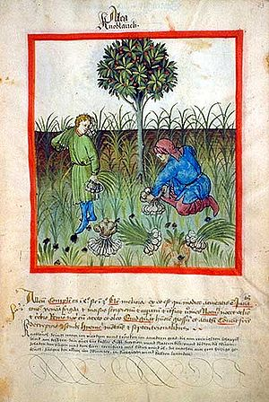 Tacuinum Sanitatis - Harvesting garlic, from Tacuinum Sanitatis, ca. 1400 (Bibliothèque nationale, Paris)
