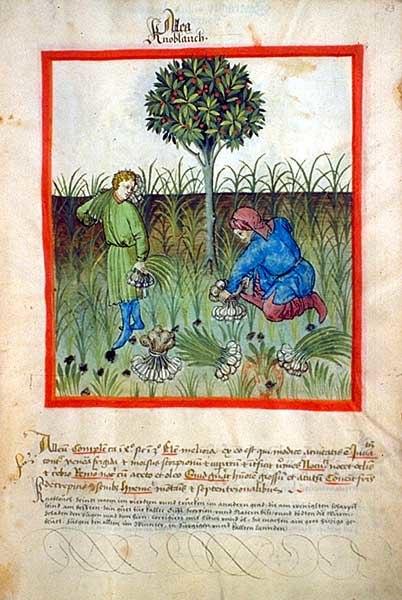 Tacuinum sanitatis-garlic