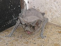 クロ オオ アブラコウモリ