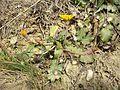 Taraxacum serotinum sl68.jpg