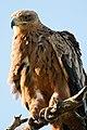 Tawny Eagle (6785961170).jpg