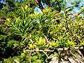 Taxus cuspidata (Hryshko National Botanical Garden, Kiev).jpg