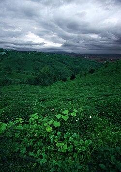 تصویر: http://upload.wikimedia.org/wikipedia/commons/thumb/3/39/Tea_Gardens,_Gilan,_Iran.jpg/250px-Tea_Gardens,_Gilan,_Iran.jpg