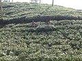 Tea gardens Srimangal Sreemangal Upazila Moulvibazar Maulvibazar Moulavibazar Sylhet 02.jpg