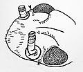 Temporal organ mark and ines benecke original drawing after J Exp Biol 126 p 297 314 THEREUONEMA HILGENDORFI jpg.jpg