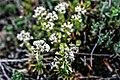 Teucrium montanum. Crêt des Roches. (2).jpg
