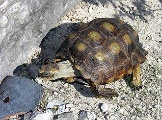 Texas tortoise - Image: Texas Tortoise Gopherus berlandieri