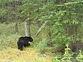 The Bear, Banff NP, AB, Canada - panoramio.jpg