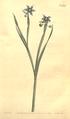 The Botanical Magazine, Plate 464 (Volume 13, 1799).png