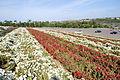 The Flower Fields at Carlsbad Ranch 75 2014-04-28.jpg