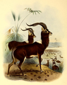 The book of antelopes (1894) Cobus maria.png