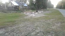 File:The goats behavior within a herd.webm