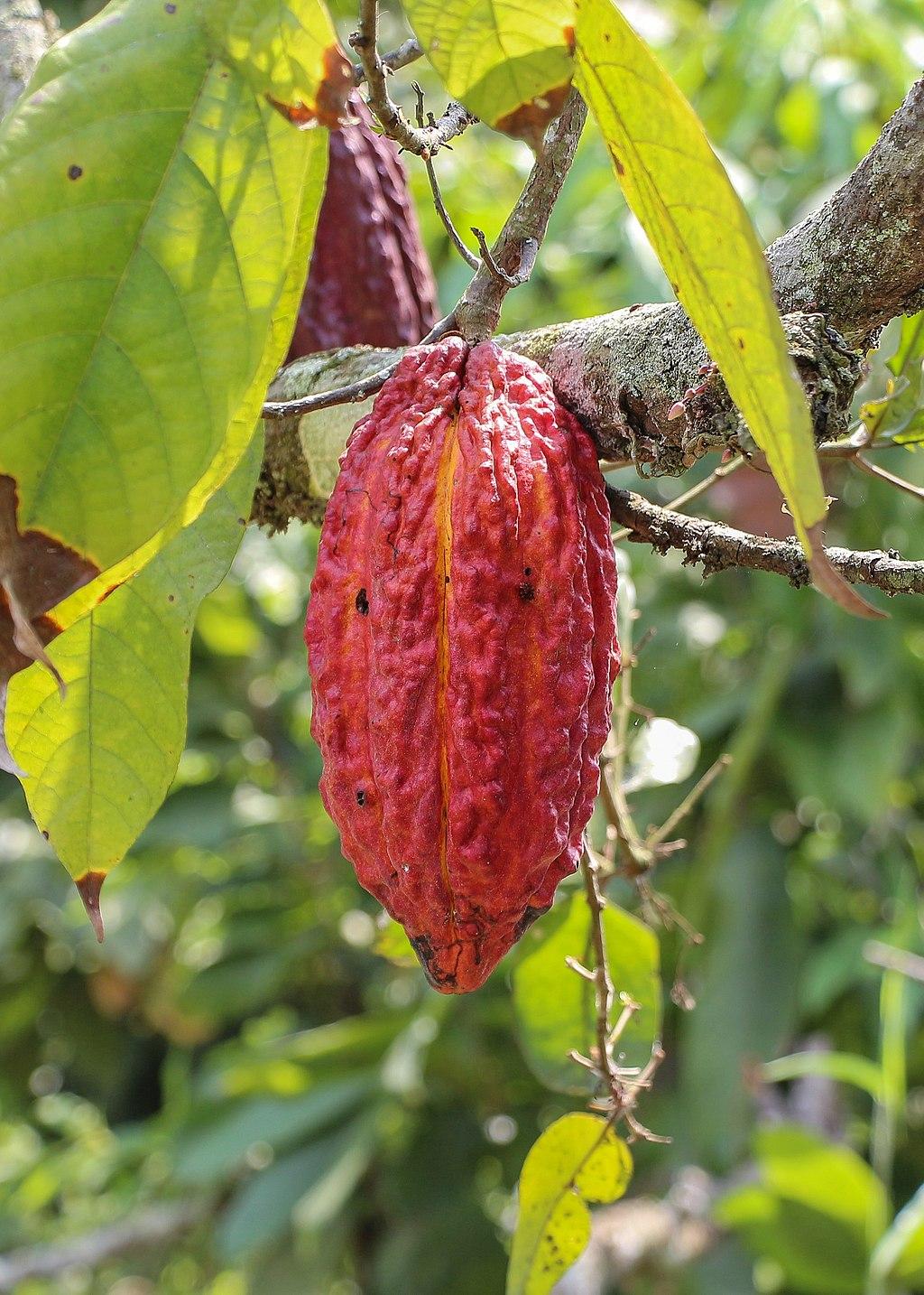 Theobroma cacao fruit