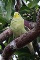 Thimindu 2009 12 31 Kaudulla Pompadour Green Pigeon 2.jpg