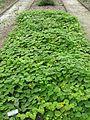 Thladiantha nudiflora - Talence - 201007.jpg
