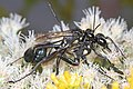Thread-waisted Wasp - Eremnophila aureonotata, Meadowood Farm SRMA, Mason Neck, Virginia (37216970275).jpg