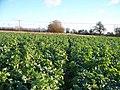 Through the crops - geograph.org.uk - 1630375.jpg