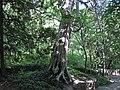 Thuja occidentalis (eastern arbor vitae tree) (Natural Bridge State Park, Virginia, USA) 1 (27193610773).jpg