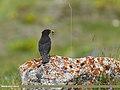 Tibetan Blackbird (Turdus maximus), Hunza, Pakistan (35396156120).jpg