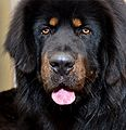 Tibetan Mastiff Flickr (8470699761).jpg
