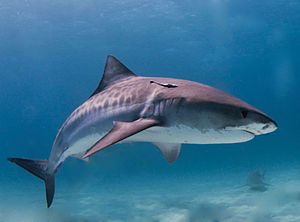 English: Tiger shark - Naples Fishing