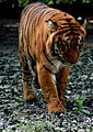 Tigress at Kanpur Zoo.JPG