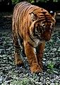 Tigress at Kanpur Zoo.JPG