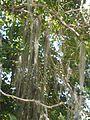 Tillandsia usneoides (L.) L. - 2013 000.jpg
