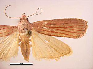 Tirathaba rufivena - Female