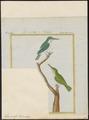 Todus viridis - 1700-1880 - Print - Iconographia Zoologica - Special Collections University of Amsterdam - UBA01 IZ16700309.tif